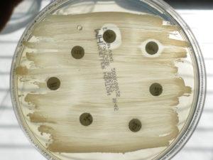 1280px-antibiogram-mueller-hinton